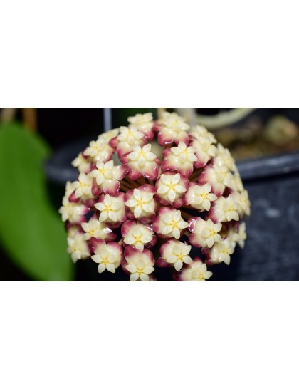 Hoya finlaysonii dark flower ( rooted cutting )